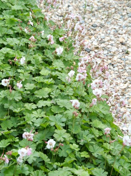 Geranium cantabrigiense 'Biokovo' (Ooievaarsbek)