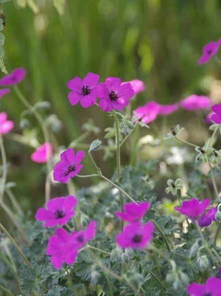 Geranium cinereum var. subcaulescens (Ooievaarsbek)