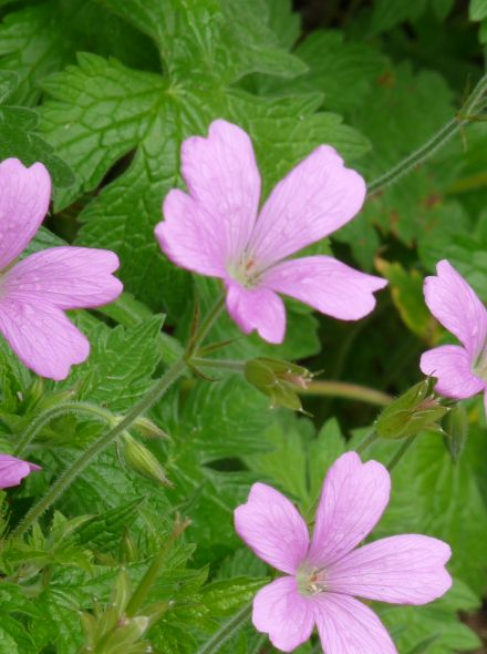 Geranium endressii 'Wargrave Pink' (Ooievaarsbek, tuingeranium)