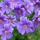 Geranium magnificum (Ooievaarsbek) - p9