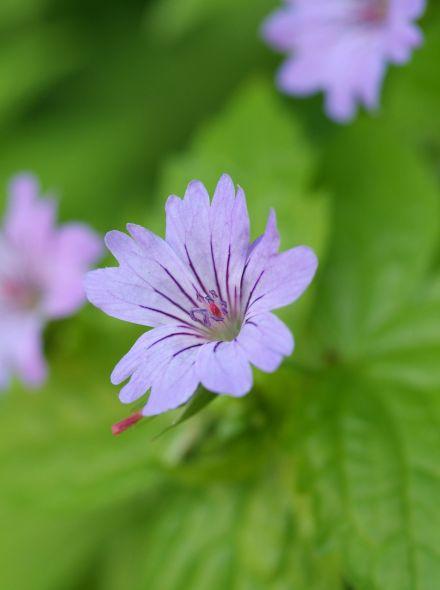 Geranium nodosum (Ooievaarsbek)