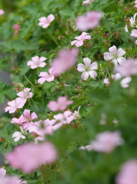 Geranium oxonianum 'Rose Clair' (Ooievaarsbek)