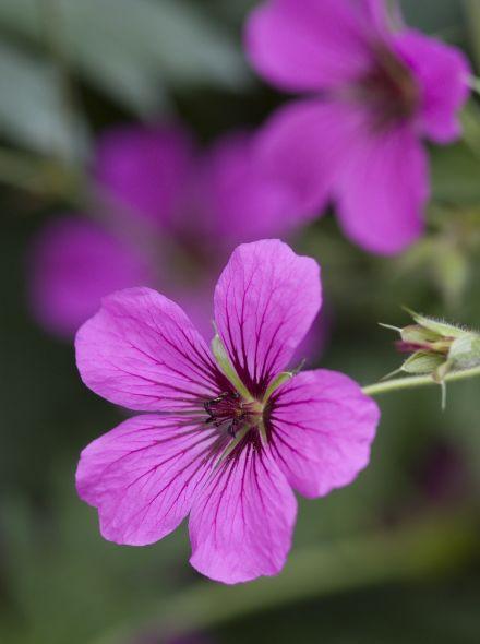 Geranium 'Patricia' (Ooievaarsbek)