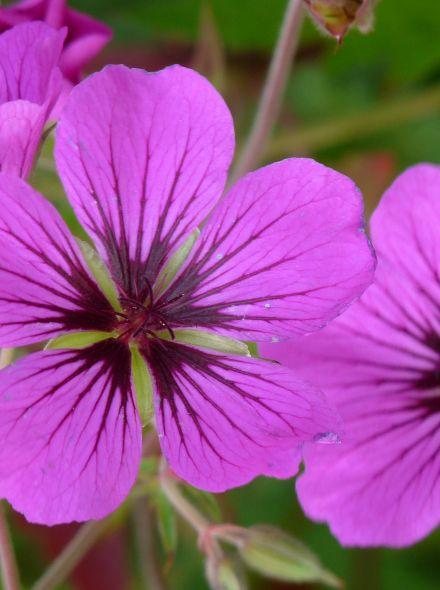 Geranium psilostemon (Ooievaarsbek)