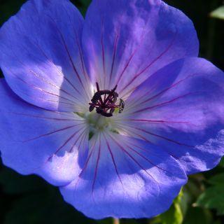 Geranium 'Rozanne', Geranium 'Gerwat', Geranium 'Jolly Bee' (Ooievaarsbek) - p9