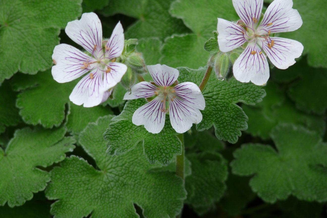 Geranium renardii (Ooievaarsbek)
