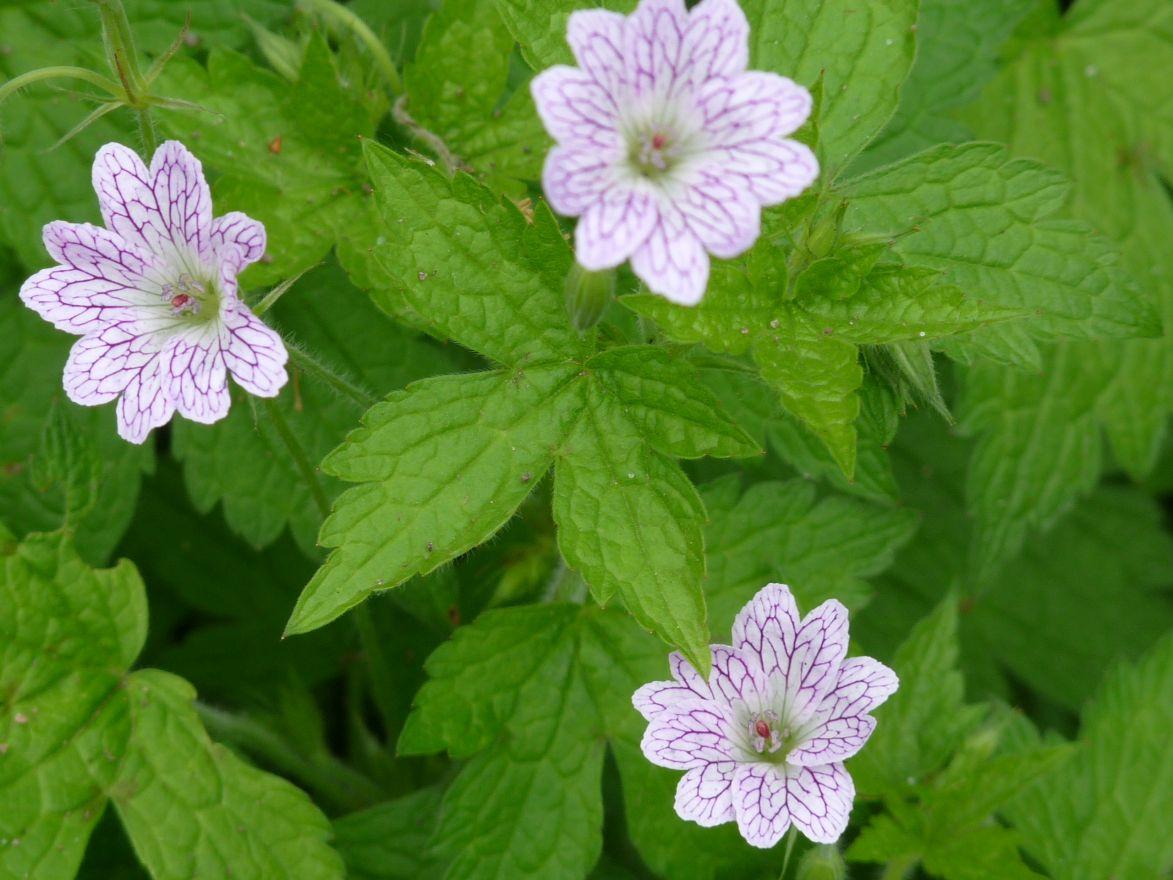 Geranium versicolor (Ooievaarsbek)