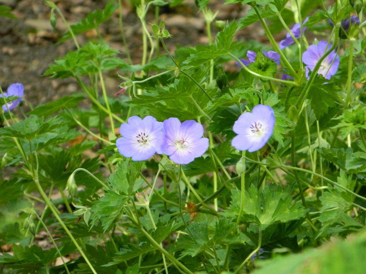 Geranium wallichianum 'Buxton's Variety' (Ooievaarsbek)