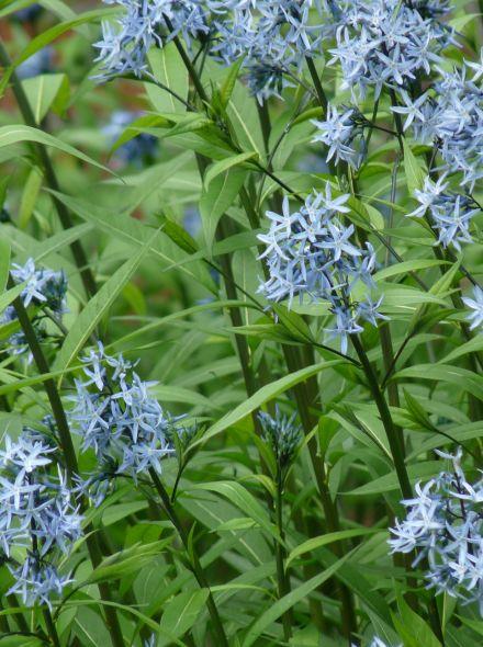 Amsonia tabernaemontana (Stermaagdenpalm, Blauwe ster)