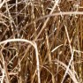 Rode zegge (Carex buchananii) - p9