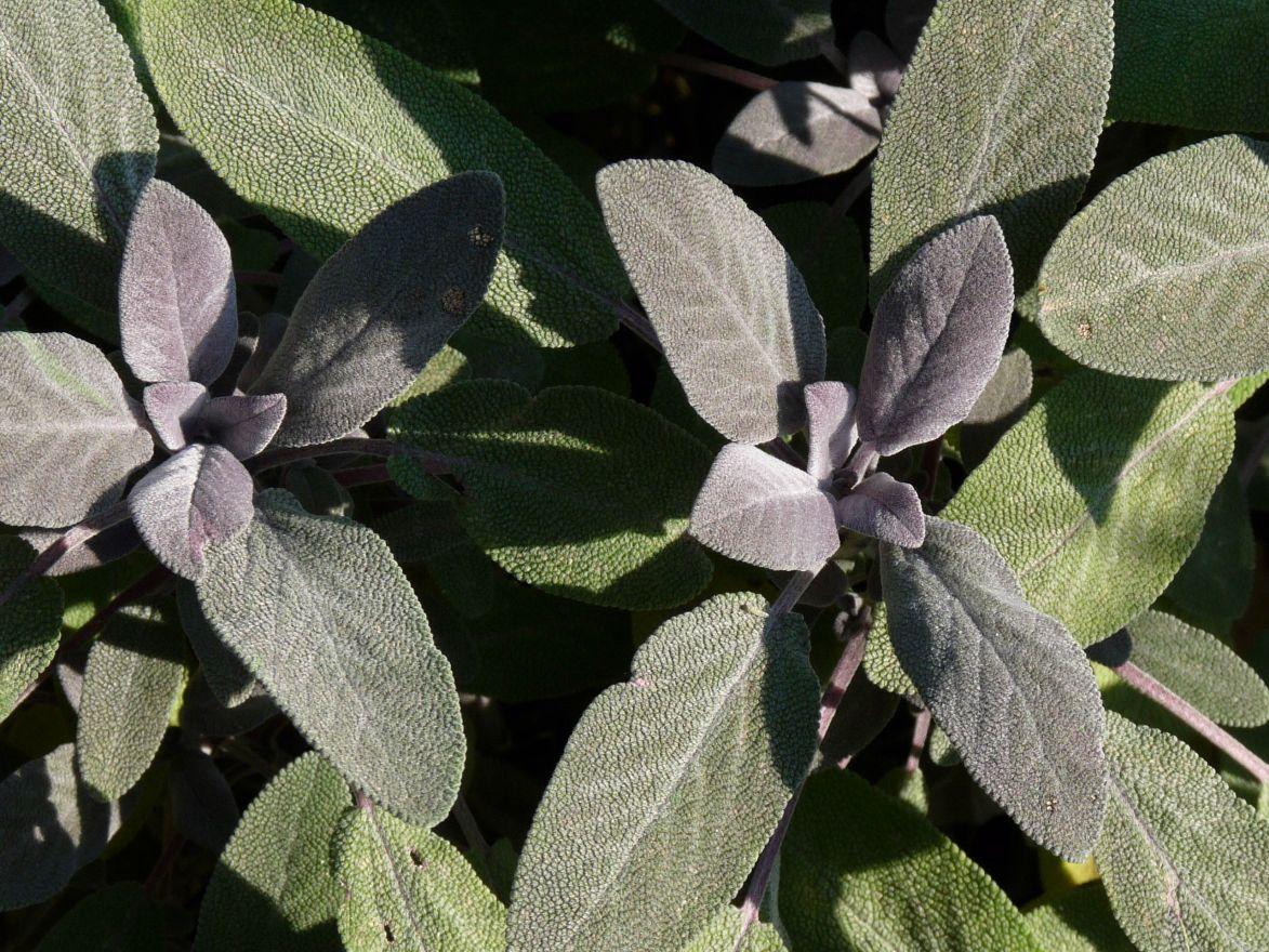 Salvia officinalis 'Purpurascens' (Purperkleurige salie, Echte salie)