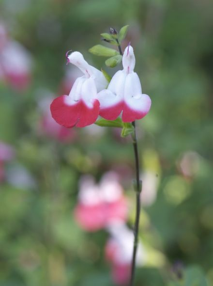 Salvia microphylla 'Hot Lips' (Salie)