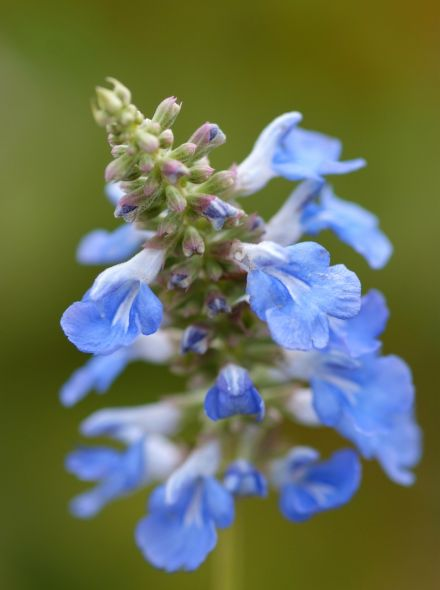 Salvia uliginosa (Salie)