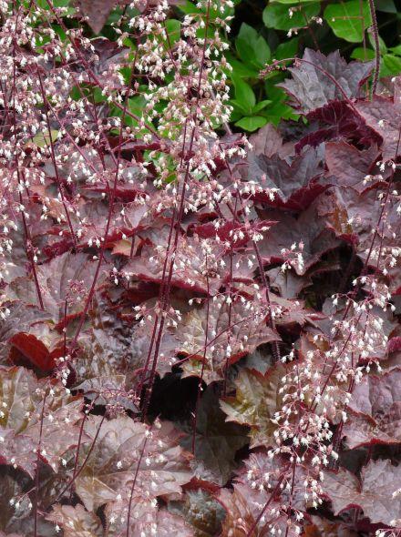 Heuchera micrantha 'Palace Purple' (Purperklokje)