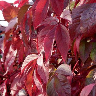 Parthenocissus quinquefolia Engelmannii (Wilde wingerd, Wilder Wein, Virginia creeper, Victoria creeper, five-leaved ivy, Wild vine)