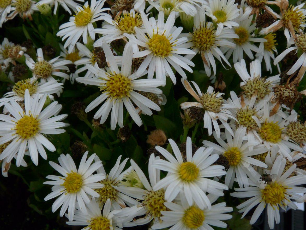 Aster ageratoides 'Starshine' (witbloeiende herfstaster)