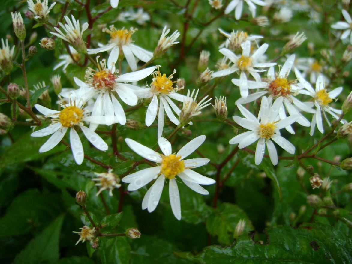 Aster divaricatus (Sneeuwster-aster, Sneeuwaster)