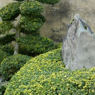 Ilex crenata 'Convexa' (Japanse hulst)