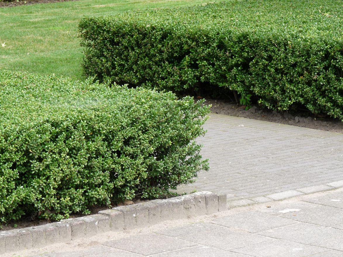 ilex crenata 39 dark green 39 japanse hulst de tuinen van. Black Bedroom Furniture Sets. Home Design Ideas