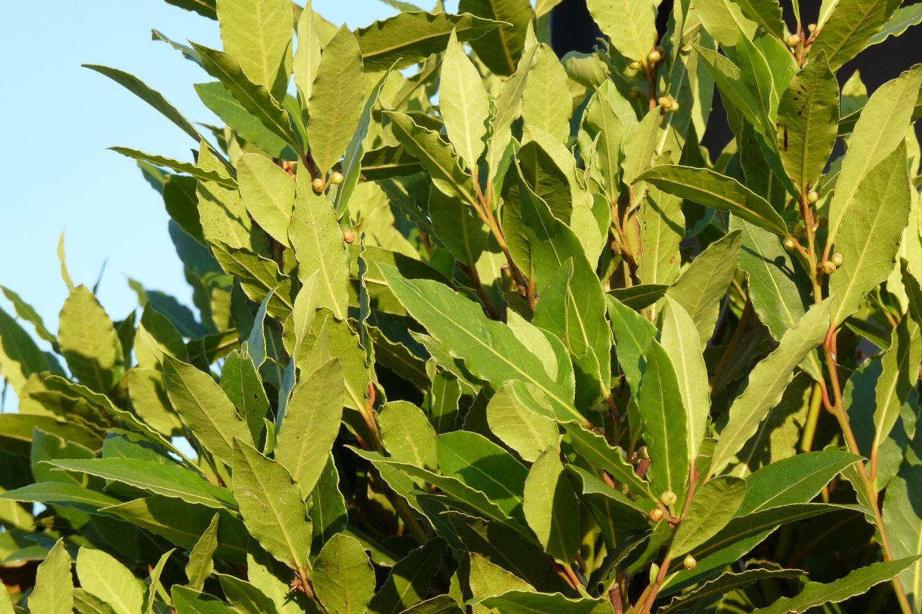 Laurus nobilis (Keukenlaurier, Echte laurier)