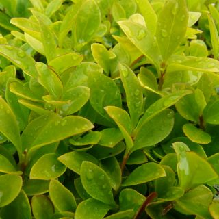 Ligustrum ovalifolium 'Aureum' (Bontbladige Liguster)