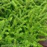 Lonicera nitida 'Maigrün' (Chinese kamperfoelie of struikkamperfolie)