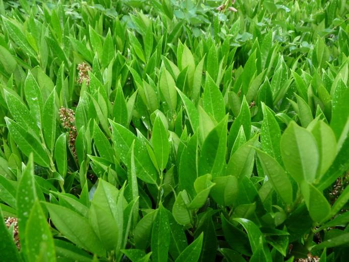 Prunus laurocerasus 'Otto Luyken' (Laurierkers)