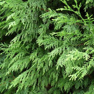 Cupressocyparis leylandii (meeneemhaag conifeer)