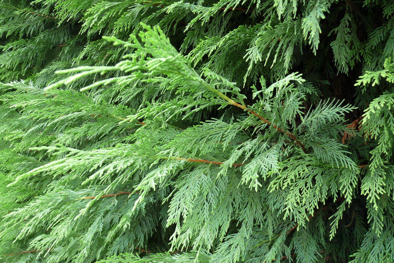 Cupressocyparis leylandii (snel groeiende haagconifeer)