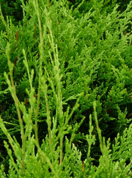 Cupressocyparis leylandii 'Castlewellan Gold' (Snelgroeiende gele haagconifeer)