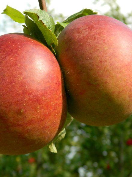 Malus domestica Brabant Bellefleur (halfstam appelboom)