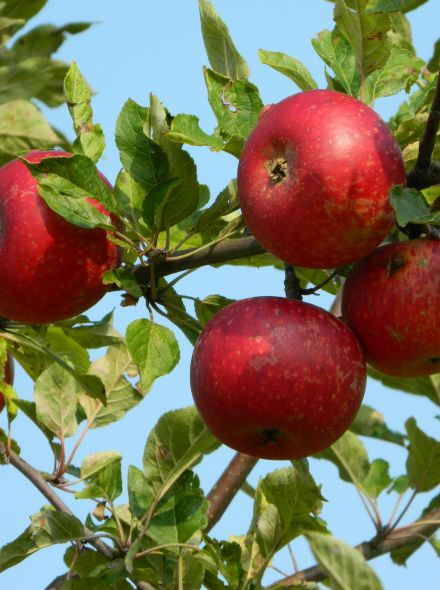 Malus domestica 'Discovery' (Discovery appel, laagstam appelboom)