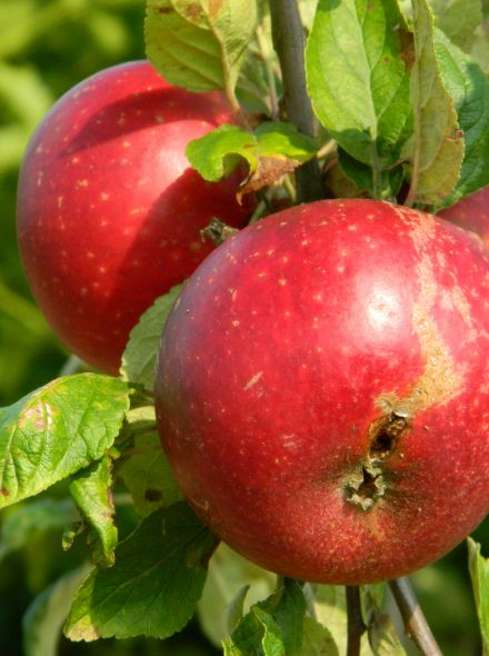 Malus domestica 'Discovery' (Discovery appel, halfstam appelboom)
