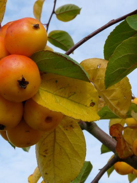 Malus 'Golden Hornet' (Gele sierappel)