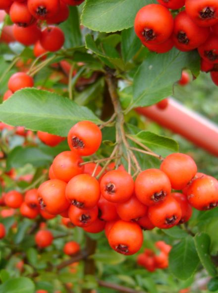 Pyracantha coccinea 'Red Cushion' (Vuurdoorn)