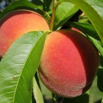 Hoe snoei je een perzikboom?