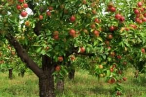 Hoe snoei je een appelboom?