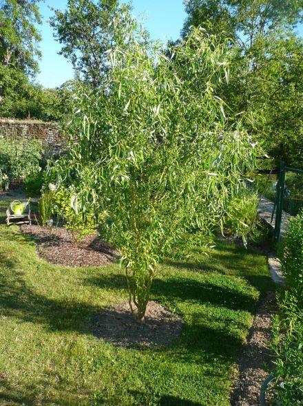 Salix babylonica 'Tortuosa' (krulwilg, kronkelwilg)