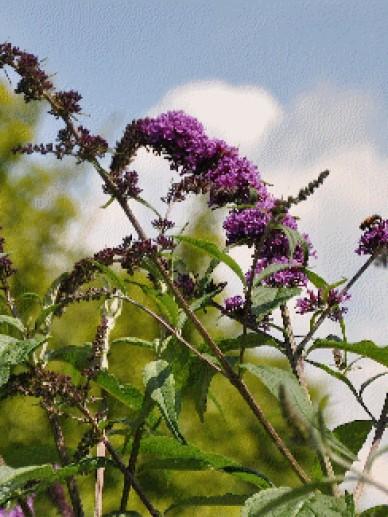 Buddleja davidii 'Flaming Violet' - Vlinderstruik