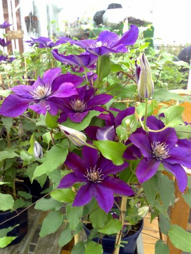 Clematis 'Picardy' - Bosrank, bosdruif