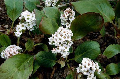 Bergenia 'Bressingham White' (Schoenlappersplant)
