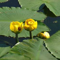 Nuphar luteum - Gele plomp