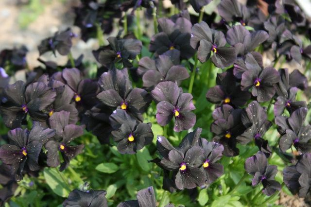Viola cornuta 'Molly Sanderson' (Overblijvend viooltje)