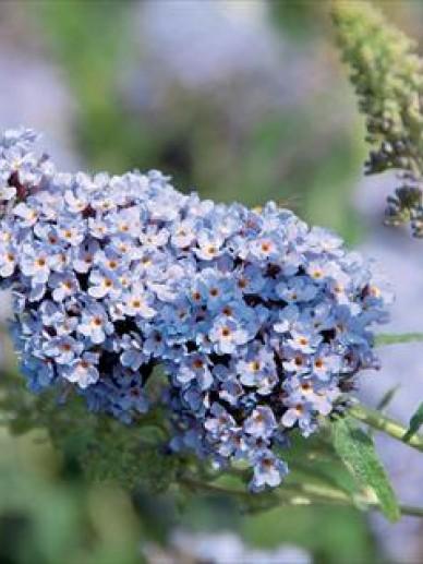 Buddleja 'Buzz Sky Blue' - Vlinderstruik