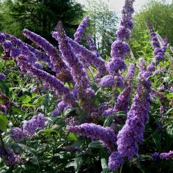 Buddleja davidii 'Orchid Beauty' - Vlinderstruik