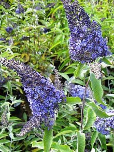 Buddleja davidii 'Summer House Blue' - Vlinderstruik