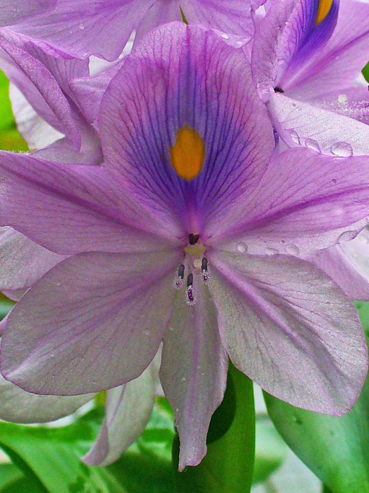 Eichhornia crassipes - Waterhyacinth