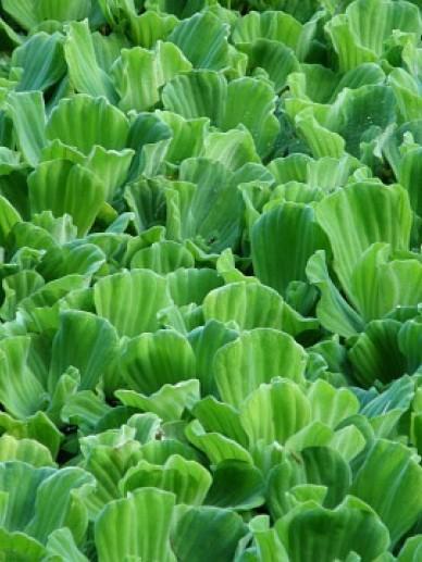 Pistia stratiotes - Watersla, mosselplant