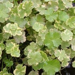 Hydrocotyle sibthorpioides 'Variegata' - Bonte waternavel