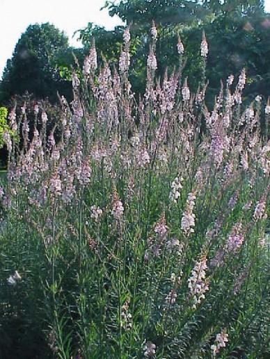 Linaria purpurea 'Canon J. Went' - Vlasleeuwebek